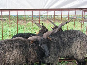 sheeppoland